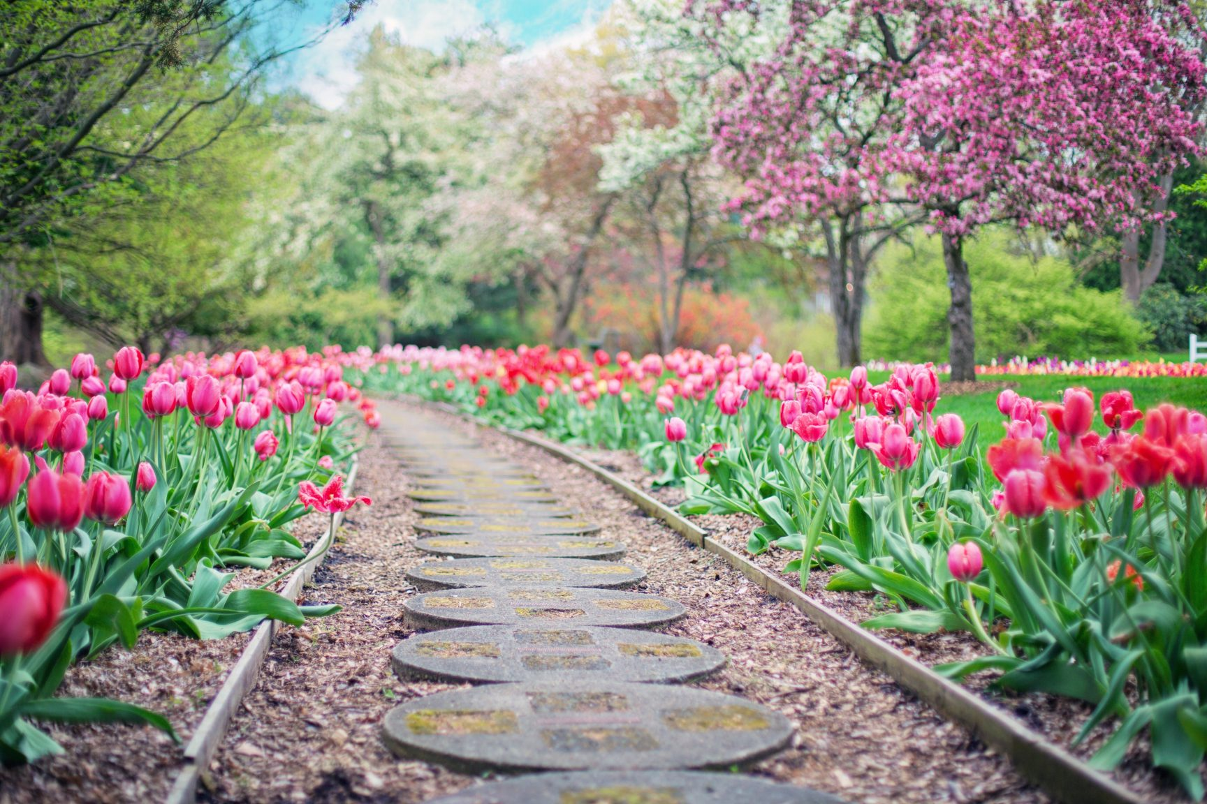 A park with a path in the middle of the photo, pink tulips border the path.